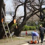 桜の剪定 作業風景