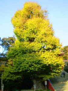 鎌倉八幡宮の大イチョウ