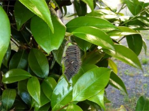 チャドクガの幼虫