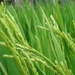稲 その2