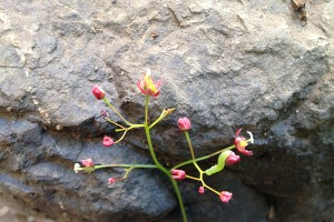 小さい花 ピンク