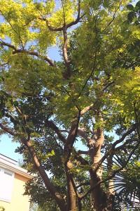 ヤマモミジ 樹形
